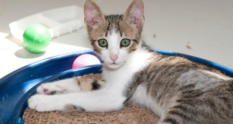 adopt-a-cat-kitten-sh-2
