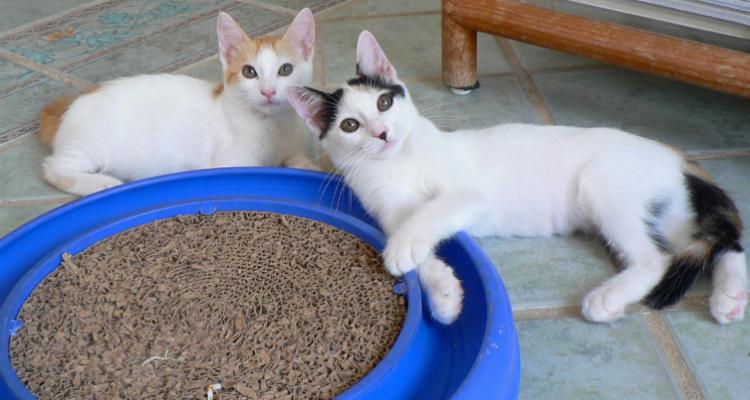 adopt-a-cat-kitten-sh-4