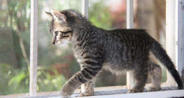 adopt-a-cat-kitten-sh